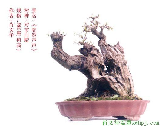 六道木盆景价格
